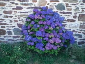 Camélias bleus couleur ardoise