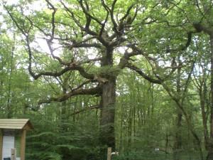 Le chêne des Hindré lui aussi âgé de près de 500 ans! On peut le visiter mais  il faut éviter de passer dessous!